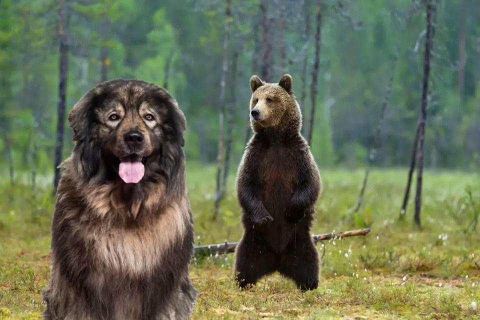 Yugoslavian Shepherd Brown Bear
