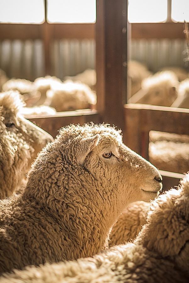 Wool Myths 9 Wool Smells Like Sheep