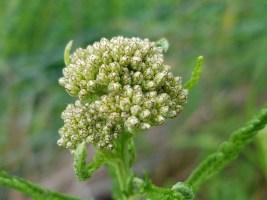 Yarrow - white medicinal