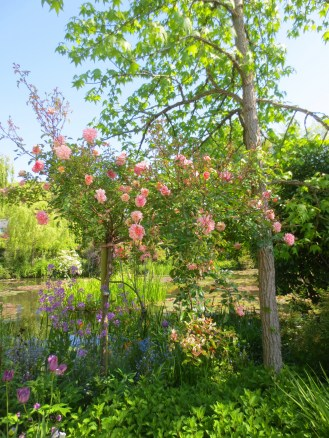 Roses bloom by the pond