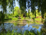 The pond framed by willow leaves