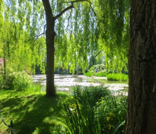 Magnificent willow by the pond, one of three.