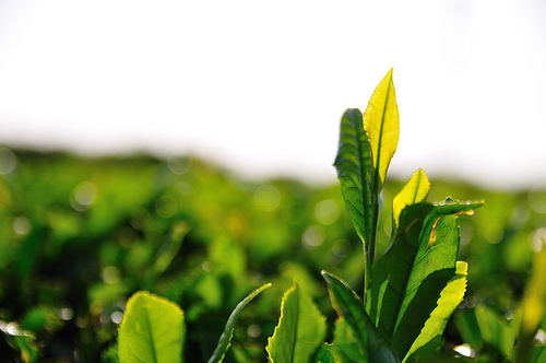 Botanical Extracts in Skin Care Are they beneficial By
