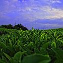 caji-jeshil