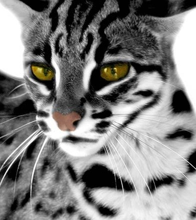 Marble bengal cat, Bengal cats and Mink on Pinterest