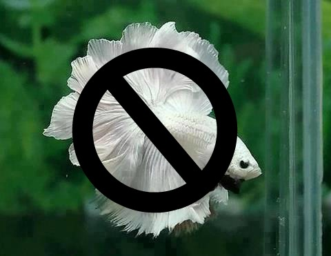 Beta readers are not fish, or fishy! By Kingloovr (modified) via Wikimedia Commons