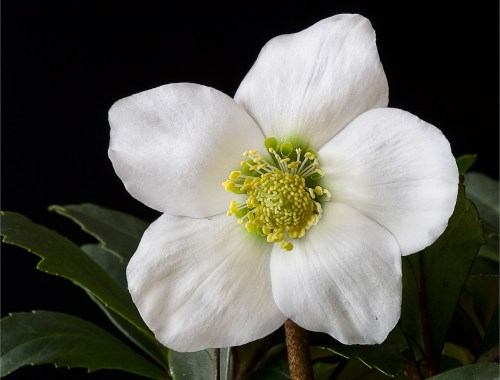 helleborus, hellebore, lenten rose, flower, plant
