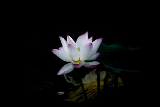 lily pads surrounding lotus flower