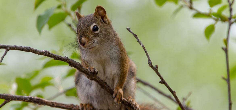 unexpected visitor, animals, squirrel, vine maple, trees, food, cohabitation,