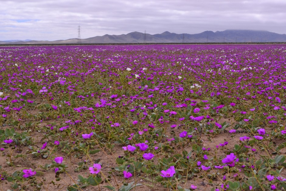 desert. blossoms, purple flowers