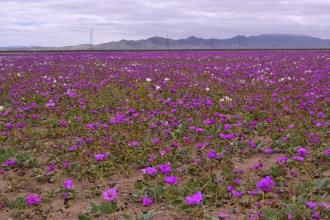 desert. blossoms, purple flowers