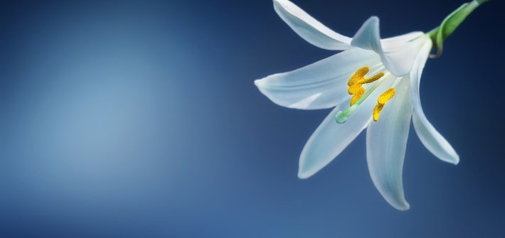 lily, white lily, Madonna lily
