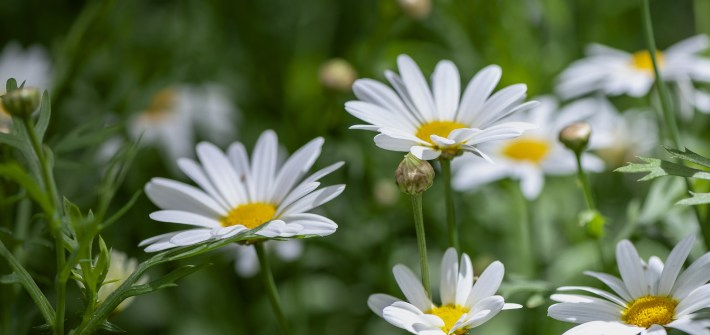 daisies, spring, summer, Memorial Day, remembrance