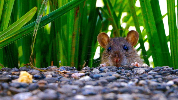 mouse, mammal, grass, stones, field mouse
