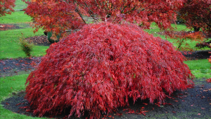 Japanese maple, tree, weeping Japanese maple, warmth, love,