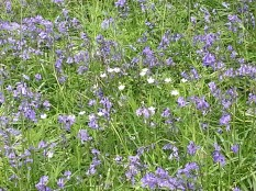 Duncliffe Bluebell Woods May 2014 (21)