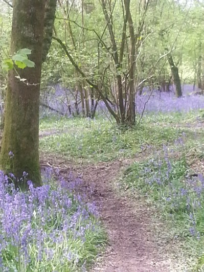 Duncliffe Bluebell Woods May 2014 (31)