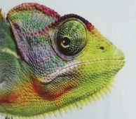chameleon-1316390__340