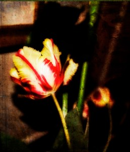 Sonoma County Tulip, Valentine's Day 2011
