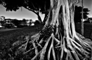 Banyan Tree, Boca Raton, Florida (June 2011)