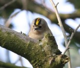 The Goldcrest - smallest bird in Europe!!