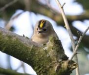 The Goldcrest - smallest bird in Europe!!