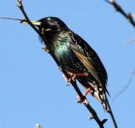 Starling March 2012 v2