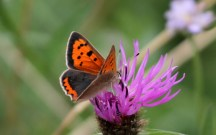 Small Copper 8th August 2012