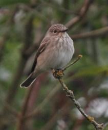 Spotted Flycatcher - Sherston September 2012