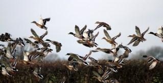 Flock Mallards Dec 2012