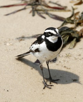 African Pied Wagtail 1