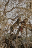 Leopard in tree 3