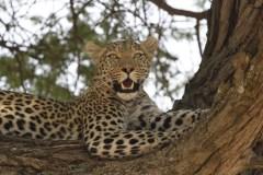 Leopard in tree 4