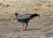 Ovambo Sparrowhawk 1