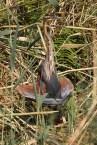 Purple Heron 1