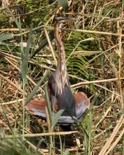Purple Heron 2