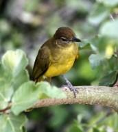 Yellow-bellied Greenbul 1