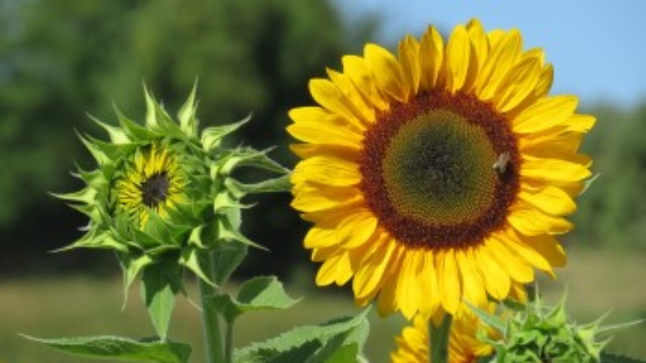Sunflower Growth Timeline And Life Cycle 8 Stages With Pictures