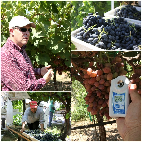 Melisssa's Produce, grower tour, Moscato grapes