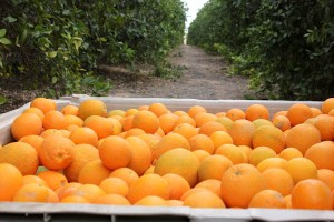 CA Farm Water Coaltion, citrus farm