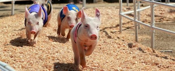 Pig Races, Orange County Fair