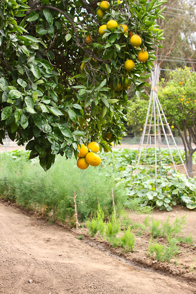 Citrus Trees, Edwards Ranch