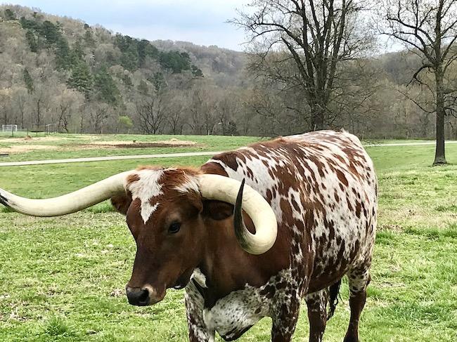 Texas longhorn at Dogwood Canyon Nature Park
