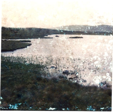 Swans on lake at Sandfield 1965