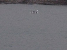 Dolphins at Portnoo
