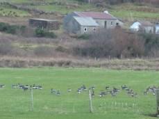 Greylag and Barnacle Geese Lward