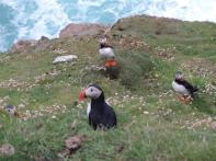 Puffins at Herma Ness