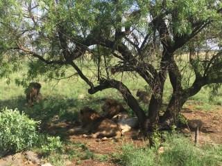 Lion Park South Africa