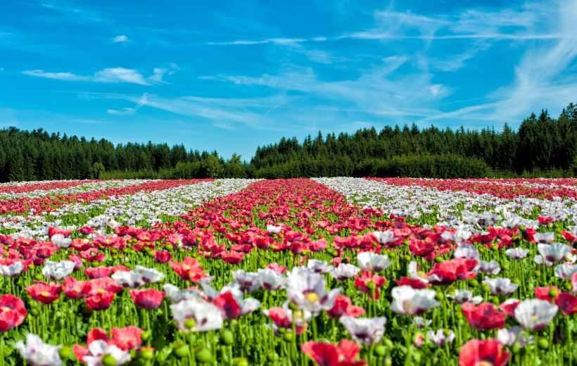 landscape red field flowers