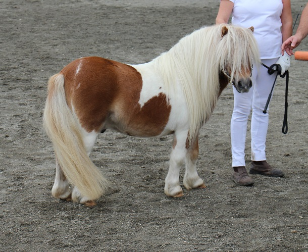 Bienvenue  Association Franaise du Poney Shetland